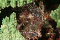 BD-140324-Apo-3610-Scorpaenopsis-oxycephala-(Bleeker.-1849)-[Caledonian-devilfish].jpg